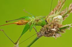 Crab spider eating a grasshopper Stock Photos
