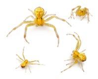 Crab Spider, Ebrechtella Tricuspidata Royalty Free Stock Photo