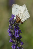 Crab spider on flower. Crab spider on lavender flower caatching a large white butterfly Royalty Free Stock Photos