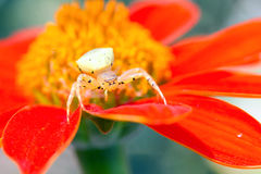 Crab spider in flower Royalty Free Stock Photo