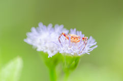 Crab spider in green nature Stock Photography