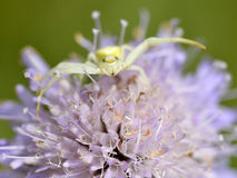 Crab spider on knautia flower Royalty Free Stock Image