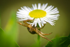 Crab spider lurking prey Stock Images