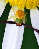 Crab Spider Royalty Free Stock Images
