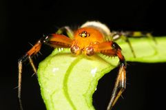 Crab spider, macro shot Stock Photo