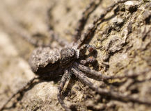Crab spider macro on a tree Royalty Free Stock Photo