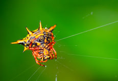 Crab spider Stock Images