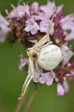 Crab Spider - Misumena vatia stock photo