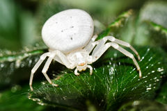 Crab Spider - Misumena vatia. Macro shot of a crab spider on a leaf Royalty Free Stock Image