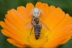 Crab spider Misumena vatia grabbed bee in flower Calendula. Stock Photography