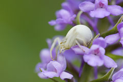 Crab Spider - Misumena vatia, meadow, Czech Republic. Crab spider on the orchid in meadow Royalty Free Stock Photo