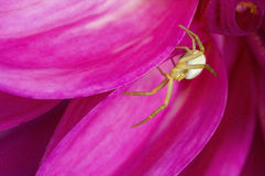Crab spider Misumena vatia Stock Photos