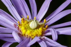 Crab Spider (Misumena vatia) on Purple Aster Royalty Free Stock Photography
