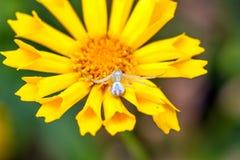 Crab Spider, Misumena vatia Royalty Free Stock Image