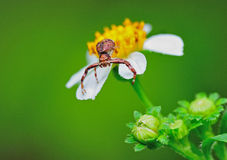Crab spider onflower. Crab spider stay on white flower stock photo