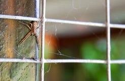 Crab spider Philodromus dispar Royalty Free Stock Photo