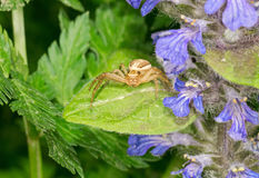Crab spider on the plant Stock Photo