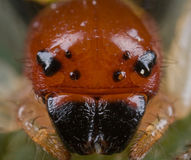 Crab spider portrait Stock Photography