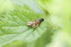 Crab spider - prey - soldier beetles Stock Photo