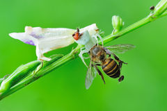Crab spider preying. 2 different spider preying the same time stock images