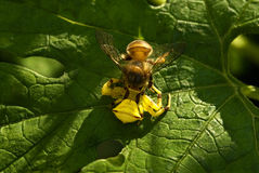 Crab Spider preying on bumble bee Stock Photos