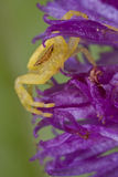 Crab spider on purple wildflower Stock Photo