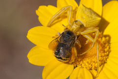 Crab spider ready to lunch. Thomisus onustus is a crab spider species in the genus Thomisus belonging to the family Thomisidae Royalty Free Stock Image