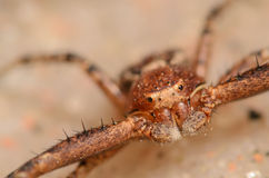 Crab Spider. Red and Brown Crab Spider Up close Royalty Free Stock Photography