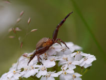 Crab-spider Royalty Free Stock Image