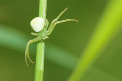 Crab spider Royalty Free Stock Photos