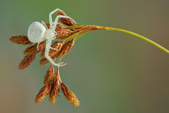 Crab spider waiting Stock Photos
