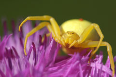 Crab spider waiting for its prey. A big yellow crad spider hunting Stock Photo