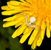 Crab spider waiting for prey Royalty Free Stock Photo