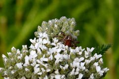 Crab Spider on White Yarrow Stock Images