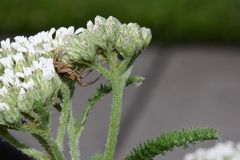 Crab Spider on White Yarrow Royalty Free Stock Images
