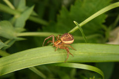 Crab spider (Xysticus cristatus) Stock Photo
