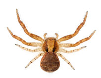 Crab spider, Xysticus sp Stock Image
