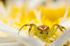 Crab spider on a yellow flower Royalty Free Stock Photos