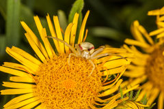 Crab spider on yellow flower macro Stock Image