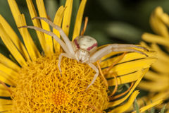 Crab spider on yellow flower macro Royalty Free Stock Image
