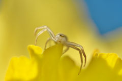 Crab spider yellow petal Royalty Free Stock Photos