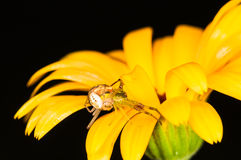 Crab spiders mating on a yellow flower Royalty Free Stock Photos