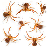 Crab spiders, Xysticus sp Royalty Free Stock Photography