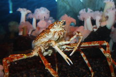 Crab Stands Guard Stock Image