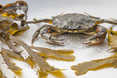 Crab, still life, crustacean, claw, seafood, food, fresh, studio. One appetizing green crab on wet polish silver background in studio with seaweed sheets. Modern Stock Photo
