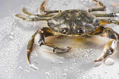 Crab, still life, crustacean, claw, seafood, food,. One delicious green crab on wet polish silver background in studio. Minimalist still life Stock Photos
