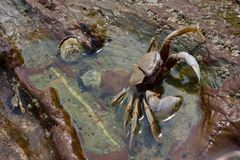 Crab on a stone Royalty Free Stock Photos