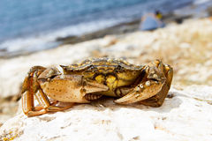 Crab on stone Royalty Free Stock Images