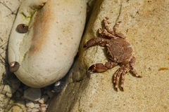 Crab on a stone.beach of Pechon,Cantabria,Spain Royalty Free Stock Photography