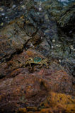 Crab on stone. In island Stock Photography